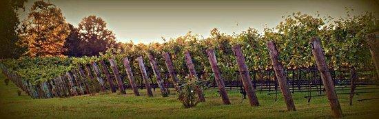 Daveste' Vineyards: vineyard rows at Davesté Vineyards