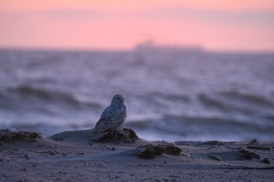 Jones Beach State Park: Snowy Owl Sunset
