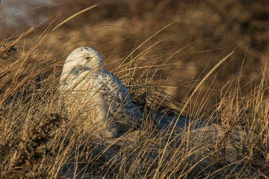 Jones Beach State Park: Snowy Owl on the dunes
