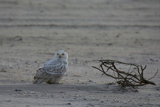 Jones Beach State Park: Snowy Owl at the beach