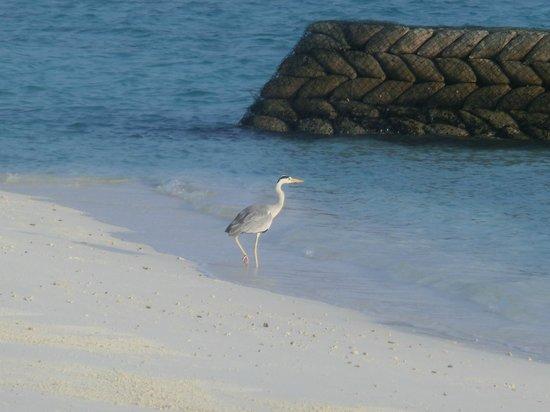Jumeirah Vittaveli : 毎日見る鳥