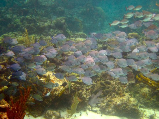 Mayan Beach Garden: School of fish