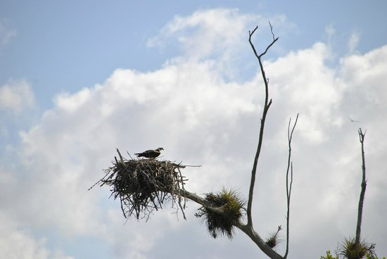 Smallwood Store Boat Tour: Osprey nest