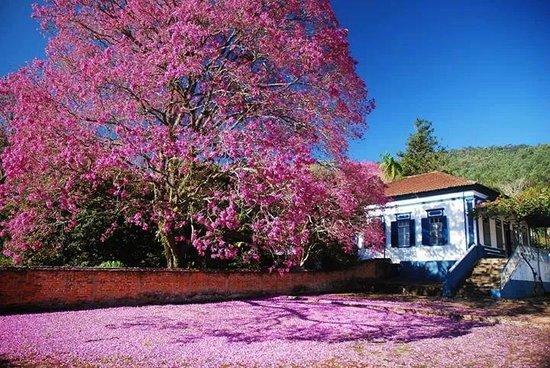 Monte Alegre do Sul, SP: Linda florada do ipê pertinho do restaurante !