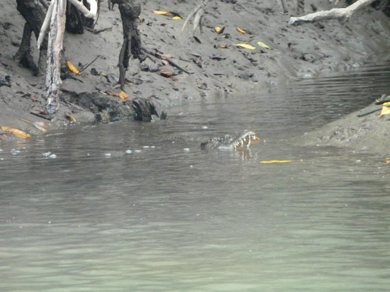 Cape Tribulation Wilderness Cruises : Saltwater crocodile on the hunt
