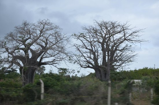 Ora Resort Watamu Bay : i baobab