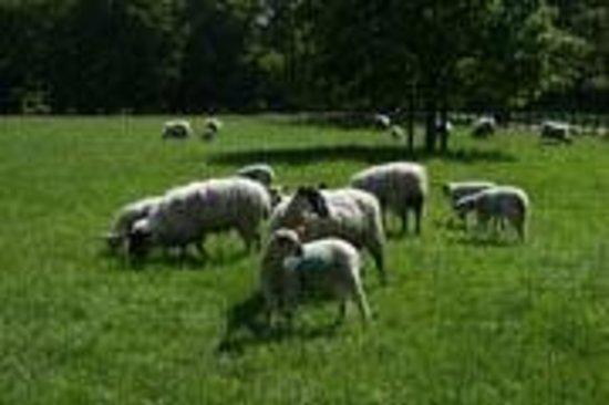 Churchdale Farm: Sheep