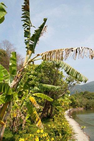 Chaipura Resort: Банановые пальмы
