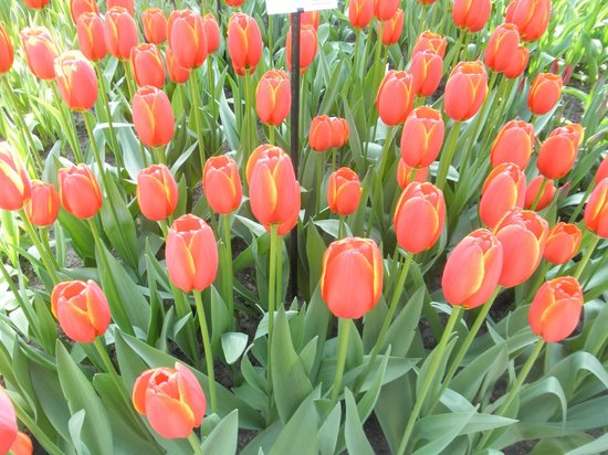 Holland Personal Tour Guide: Tulips in Springtime!