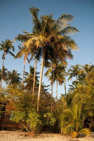 Kong Koi Beach: Кокосовые пальмы