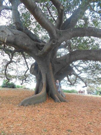 Weg vom Opernhaus zum Botanischen Garten: One of the big old trees in the park