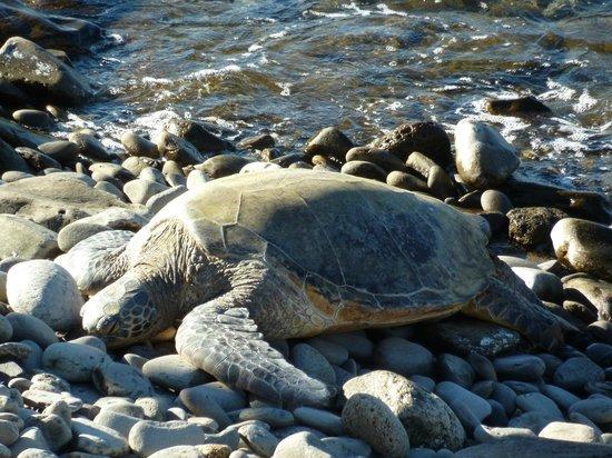 Honokeana Cove Condominiums : turtle snoozing in the sun