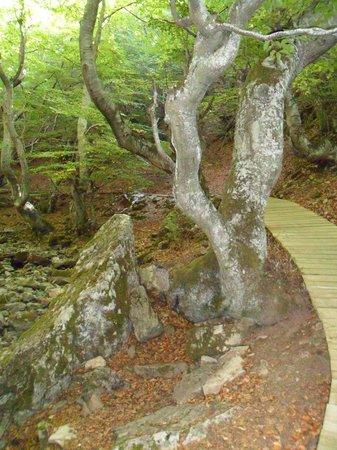 Bosque del Faedo: El camino de tablas impide que se pisotee el suelo del bosque.
