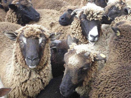 Country Homestead at Black Sheep Farm: Black Arapawa sheep