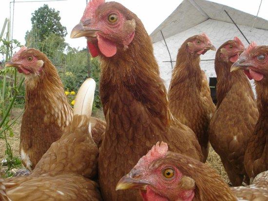 Country Homestead at Black Sheep Farm: Fresh eggs daily