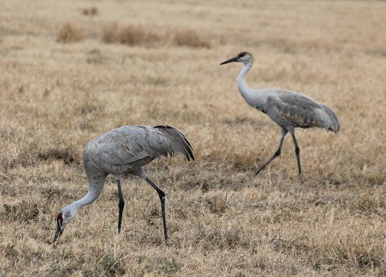 The Celery Fields: Sandhill Cranes