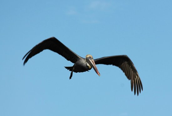 The Celery Fields: Brown Pelican