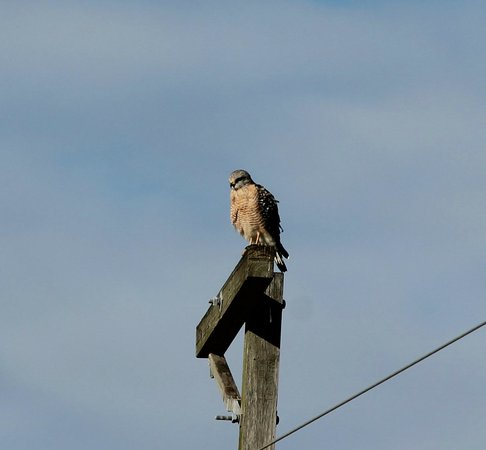The Celery Fields: Red shoulder Hawk