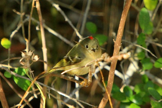 Goose Island State Park : Ruby-crowned Kinglet