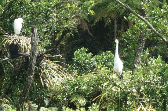 White Heron Sanctuary Tours: (poor) close-up