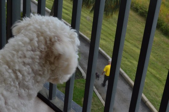 Westgate Lakes Resort & Spa: My Bichon loved watching all the dog walkers down below.