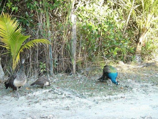 Peacocks at Playa Palancar