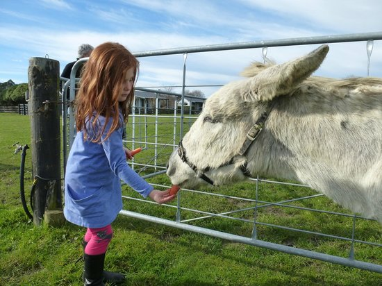 Cottages on St. Andrews & Lodge On St Georges: Our pet donkey Costa enjoying a carrot from a guest