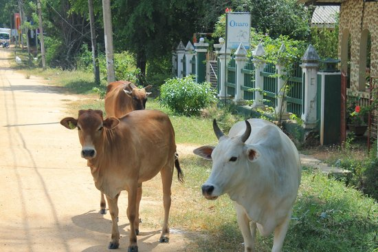 Mount Lavinia Hotel: Cows rule the streets