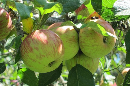 Jester House cafe : Apples in the garden