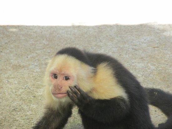 Beyond Adventure Tours: capuccino monkey