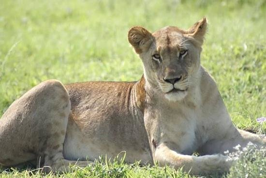 andBeyond Phinda Forest Lodge: This lioness was waiting to great us one our 1st afternoon.