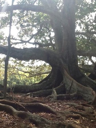 Norfolk Island Restaurant: Beautiful trees outside Norfolk Blue