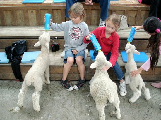 Sheepworld: Feeding the Lambs at the Shearing show