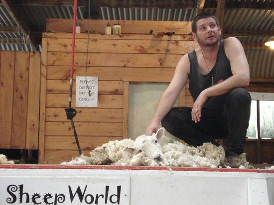 Sheepworld : Shearing a sheep at the show
