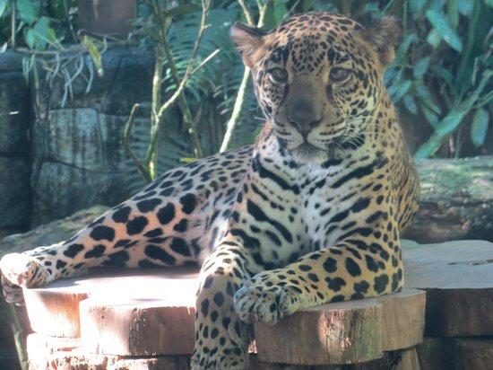 La Paz Waterfall Gardens: Female Jaguar which are hidden in the jungles of Costa Rica
