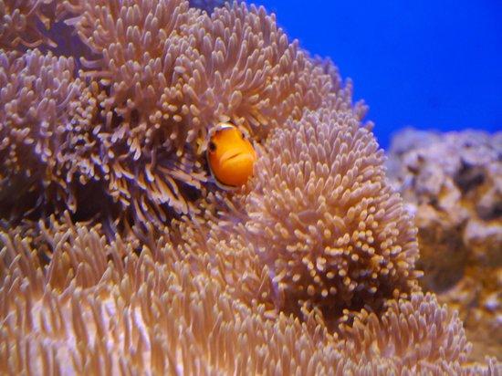 Anemonefish - kuva: Otaru Aquarium, Otaru - TripAdvisor