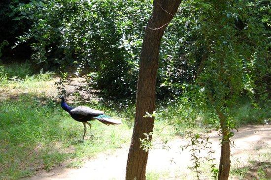 Neemrana's - Piramal Haveli: Peacocks in the backyard