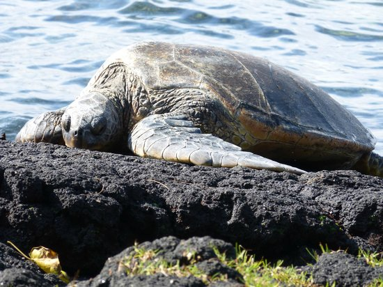 Akamai Adventure Tours & Travel: Green Sea Turtle
