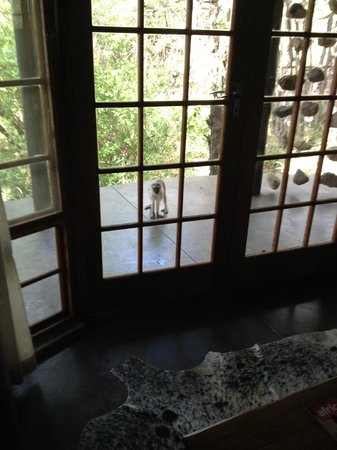 Motswari Private Game Reserve: A herd of monkeys greeting us at our room