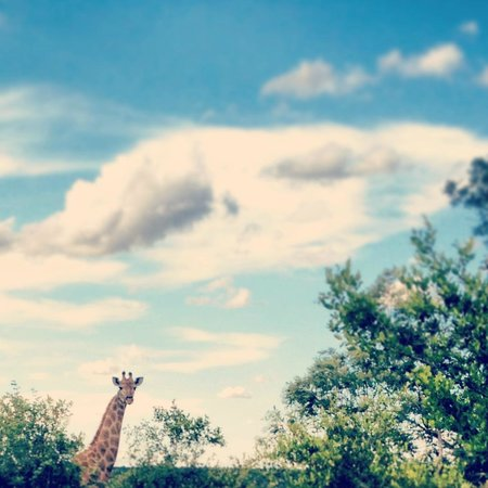 Motswari Private Game Reserve: Giraffe