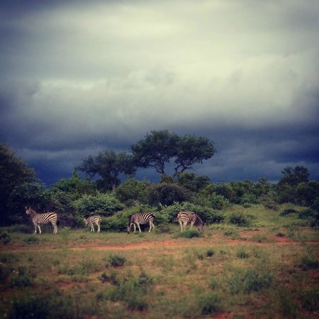 Motswari Private Game Reserve: Zebra and storm in the back