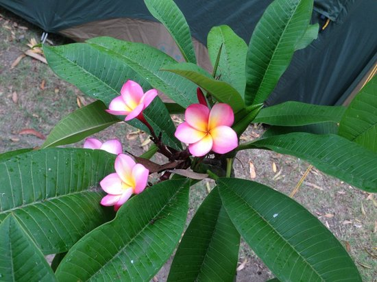 BIG4 Nambucca Beach Holiday Park: Beautiful frangipani in garden border