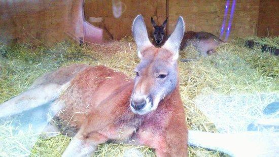 ZSL London Zoo: kangaroo