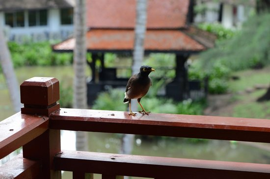 Dusit Thani Laguna Phuket : Птички на балконе