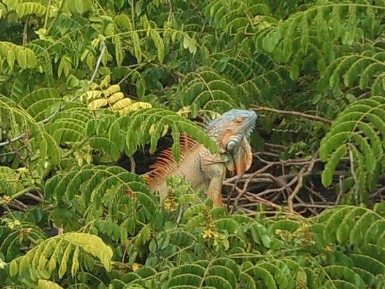 Johnny Cay: Island of iguanas
