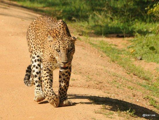 Yala National Park: Sri Lanka Leopard
