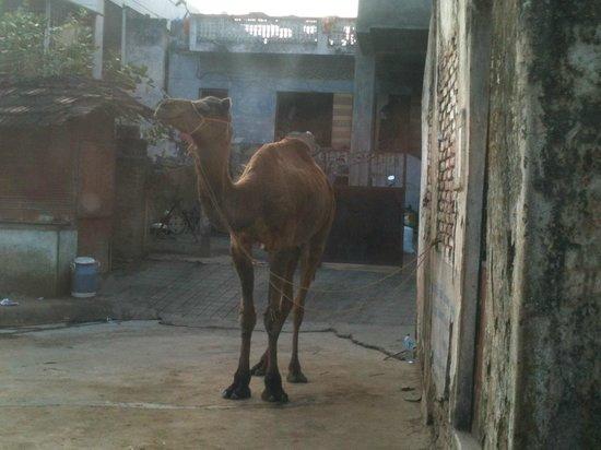 Responsible Rural Tours: Village camel