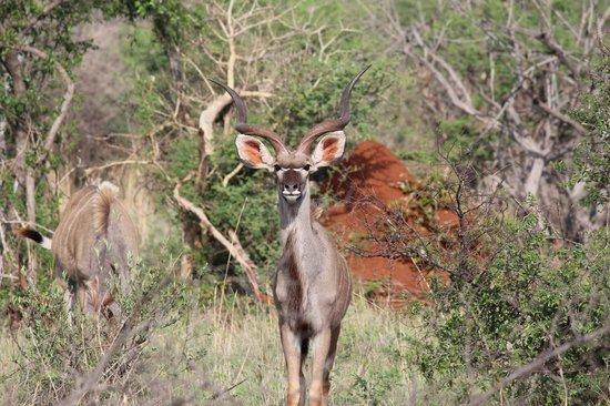 Thakadu River Camp: Male Kudu