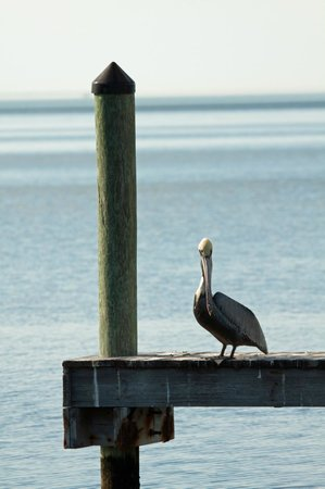 Reef Resort: Pelican on the dock