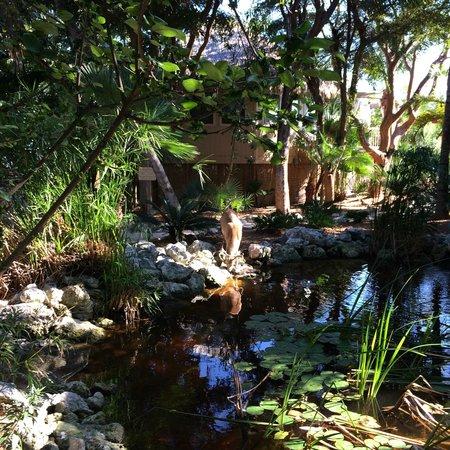 Little Palm Island Resort & Spa, A Noble House Resort : Key deer at drink